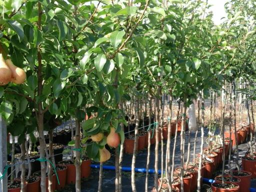 Piante da frutto prezzi vantaggiosi for Piante da frutto vaso